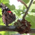 red_admiral_ants_michelle