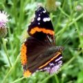 red_admiral_christine