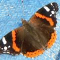 red_admiral_ron