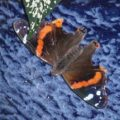 red_admiral_stephanie