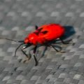 red_bug_china_keith