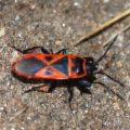 red_bug_darwin