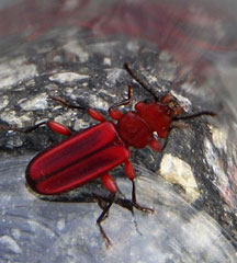 Red Flat Bark Beetle What S That Bug
