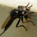 red_footed_cannibalfly_eats_housefly_boston