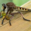 red_footed_cannibalfly_indiana