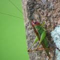 red_head_katydid_
