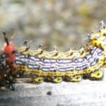 red_humped_caterpillar_moth_marylynn