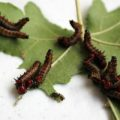 red_humped_caterpillars_crindi