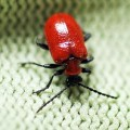 red_lily_beetle_rod