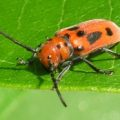 red_milkweed_beetle_jmr