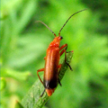 red_soldier_beetle_lisa