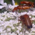 red_soldier_beetles_mating_alia