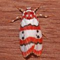 red_striped_tiger_moth_sri_lanka_gary
