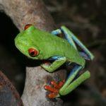 redeyed_leaf_frog_costarica_justin