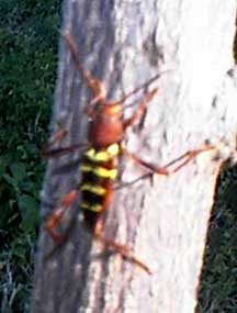 Red Headed Ash Borer - What's That Bug?
