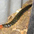 redheaded_centipede_laura