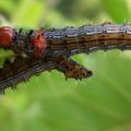 Red Humped Caterpillars