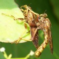 robber_flies_mating_veronica