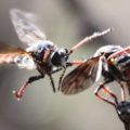 robber_flies_texas_stingrey