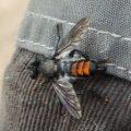 robber_fly_brenda
