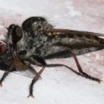 robber_fly_eats_house_fly_jill