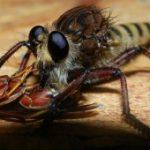 robber_fly_eats_wasp_brian