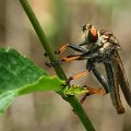robber_fly_indonesia_angela
