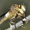 robber_fly_south_africa_st_lucia