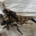 robber_fly_squished