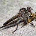 robberfly_eats_deerfly_michael