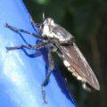 robberfly_perth_australia