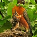 robins_caterpillar_food_chain_suzanne