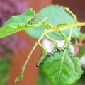 rose_sawflies_uk