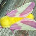 rosy_maple_moth_samantha