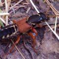 rove_beetle_henk_austria