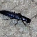rove_beetle_rob