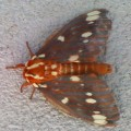royal_walnut_moth_ginger