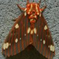 royal_walnut_moth_jennifer