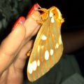 royal_walnut_moth_maryland