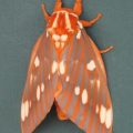 royal_walnut_moth_melissa