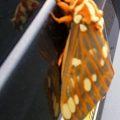 royal_walnut_moth_pa