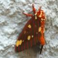 royal_walnut_moth_ryan