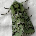 sallow_moth_mary1