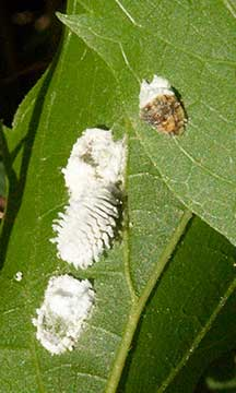 Plant Pests Mealybug And Scale Insects And Predator Twice