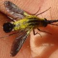 scaly_bee_fly_minnesota