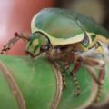 scarab_ethiopia_billy