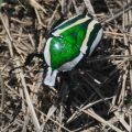 scarab_south_africa_jules