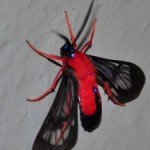 scarlet_bodied_wasp_moth_kate