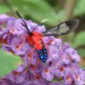 scarlet_bodied_wasp_moth_leslie