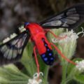 scarlet_bodied_wasp_moth_logan
